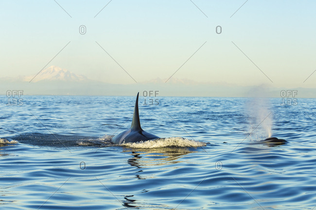 Transient Orca Killer Whales (Orca orcinus), Pacific Northwest