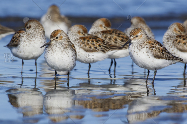 Western sandpipers, resting during spring migration
