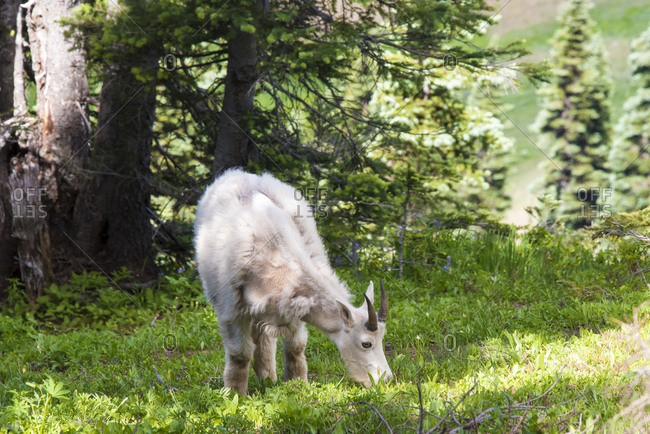 USA, Washington State, Olympic National Park, Mountain Goat grazing in shade. Non-native, controversial discussion of removal from entire Olympics