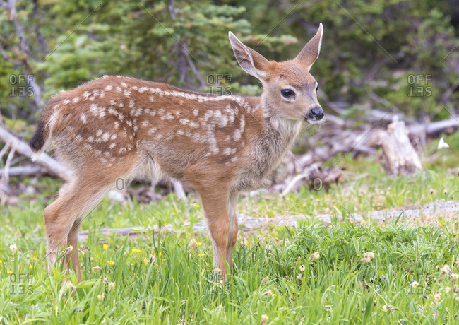 USA, Washington State, Olympic National Park Black-tailed deer fawn stands in wildflower meadow face right