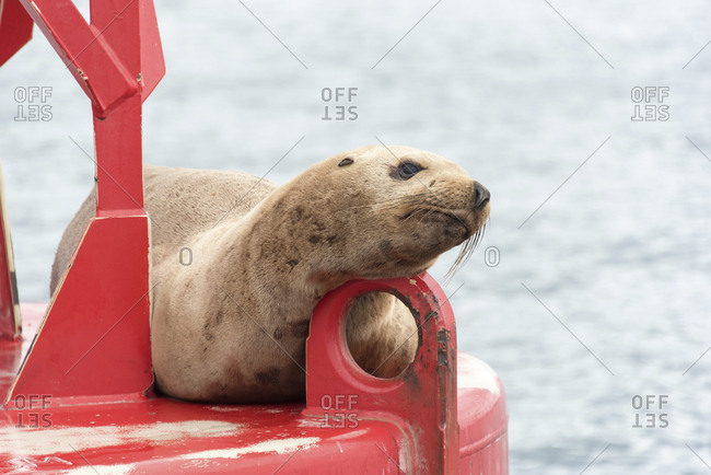USA, Washington State, Puget Sound. California Sea Lion (Zalophus Californianus) hauled out on channel marker