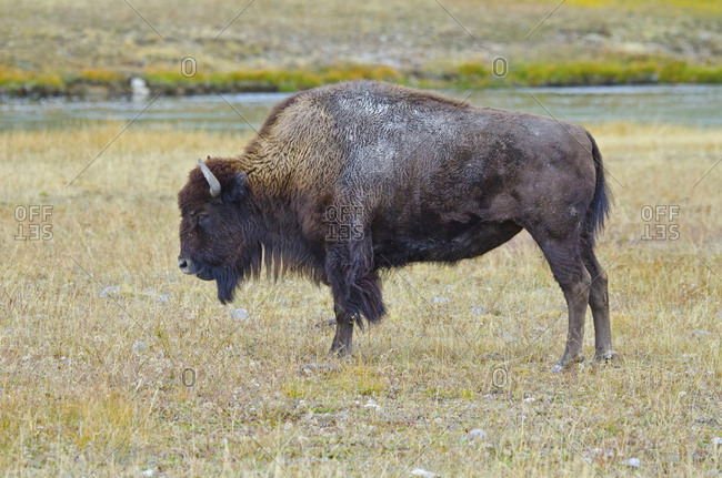 USA, Wyoming, Yellowstone National Park. Bison along Fountain Flat Drive
