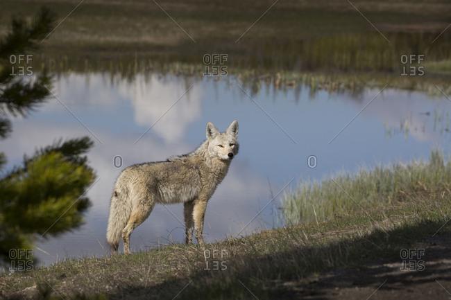USA, Wyoming, Yellowstone National Park. Coyote next to Gibbon River shoreline.