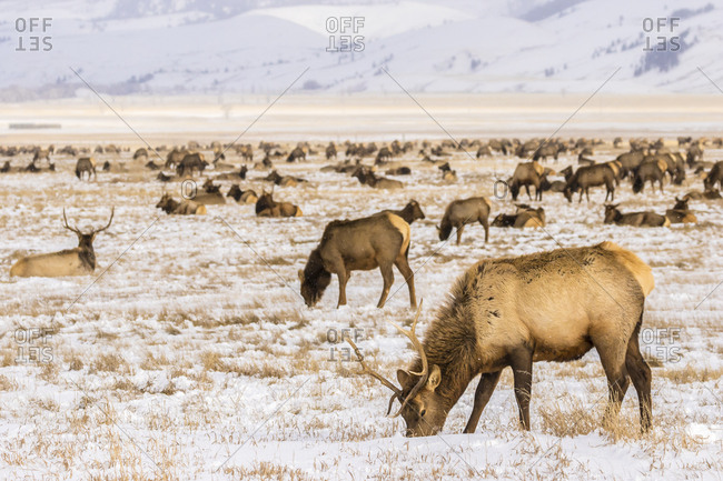 USA, Wyoming, National Elk Refuge. Elk herd.