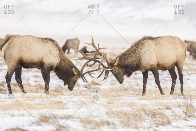 USA, Wyoming, National Elk Refuge. Bull elks fighting in winter.