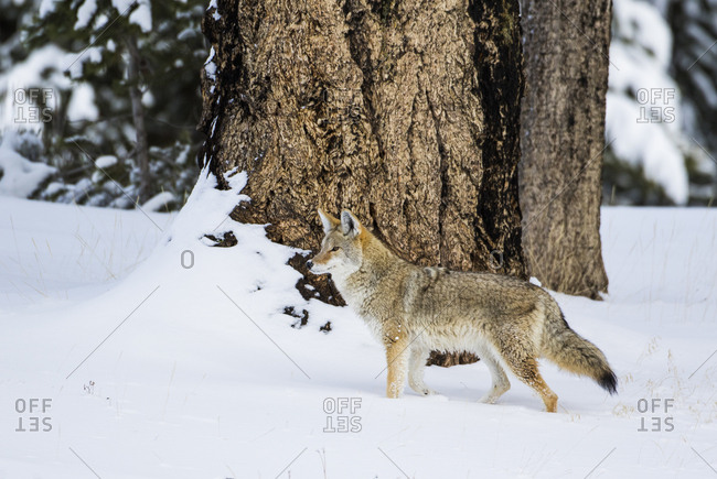 USA, Wyoming. Yellowstone National Park, coyote walks through the snow in winter.