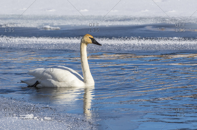 USA, Wyoming. Jackson Hole, Flat Creek, an adult Trumpeter Swan swims on a partially ice-covered creek.