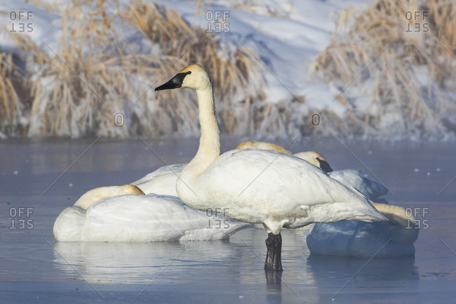 USA, Sublette County, Wyoming. group of Trumpeter Swans stands and rests on an ice-covered pond