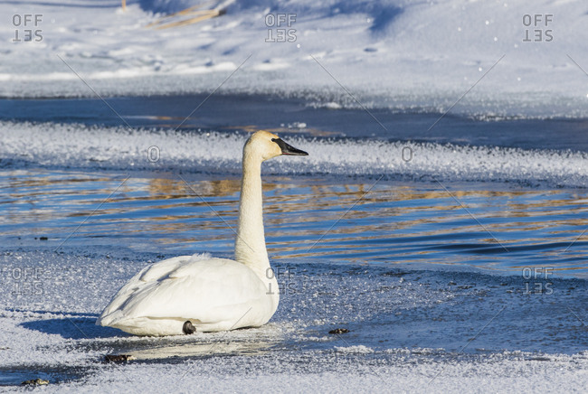 USA, Wyoming. Jackson Hole, Trumpeter Swan rests on ice along Flat Creek in the wintertime
