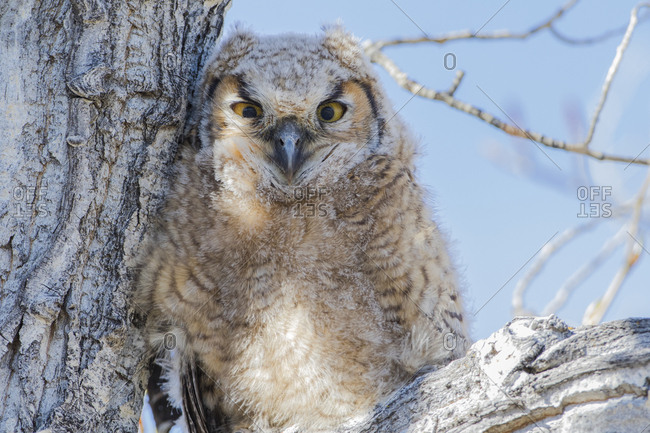 USA, Wyoming, Lincoln County. Great Horned Owlet perching on a cottonwood limb in spring.