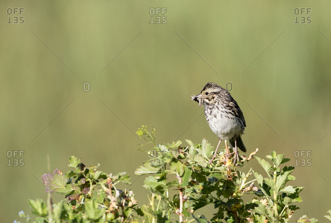 USA, Wyoming, Sublette County. Savannah Sparrow sits on top of a bush with a mouthful of insects to feed its young in the nest.
