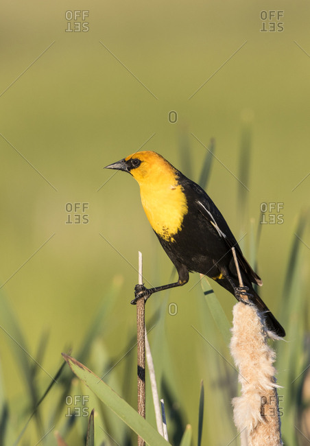 USA, Wyoming, Sublette County. Male Yellow-headed Blackbird straddles two cattail stalks in a wetland in springtime