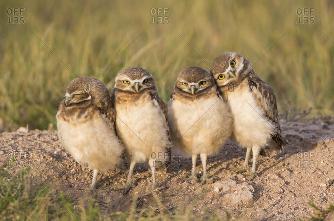 USA, Wyoming, Sublette County. Four Burrowing Owl chicks stand at the edge of their burrow evening light