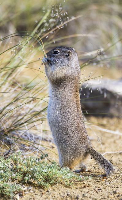 USA, Sublette County, Wyoming. Uintah Ground Squirrel stands on its back legs to eat grass seeds.