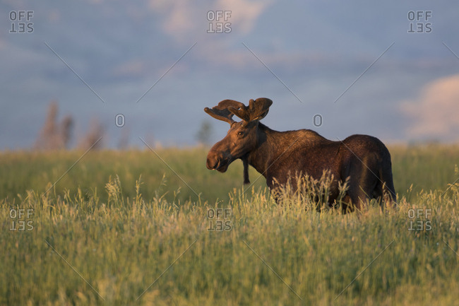 USA, Wyoming, Sublette County. Bull moose stands in tall grasses at evening light.