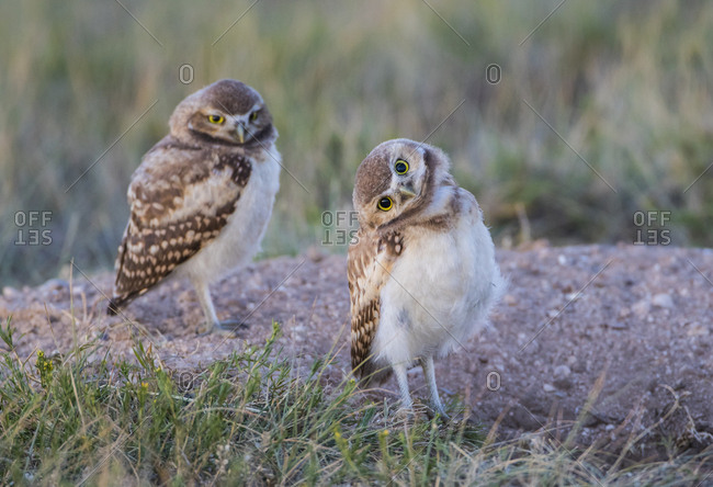 USA, Wyoming, Sublette County. Two young Burrowing owls stand at the edge of their natal burrow