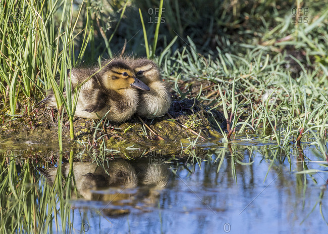USA, Wyoming, Sublette County. Two ducklings sit on the edge of an island taking a nap.