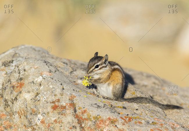 USA, Wyoming, Sublette County. Least Chipmunk foraging on a wildflower on a sandstone rock.