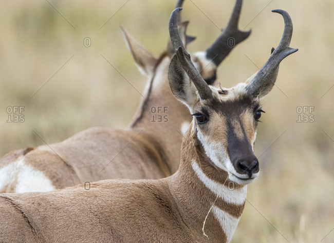 USA, Wyoming, Sublette County. Pronghorn buck, one of the fastest known land mammals.
