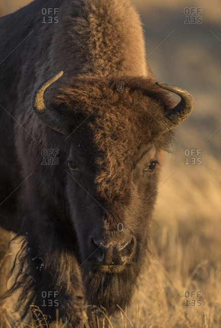 USA, Wyoming. Yellowstone National Park, cow bison poses for a in the autumn grasses along the Firehole River.