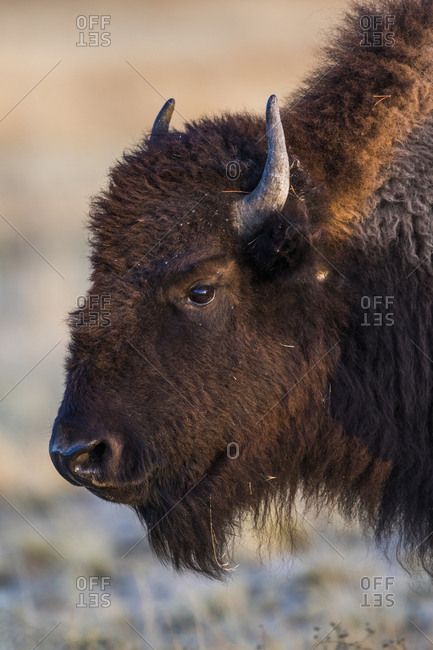 USA, Wyoming. Yellowstone National Park, bison cow at Fountain Flats in autumn