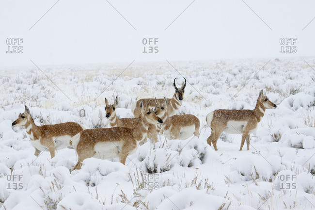 Pronghorn antelope herd, winter storm, Sage Brush Country