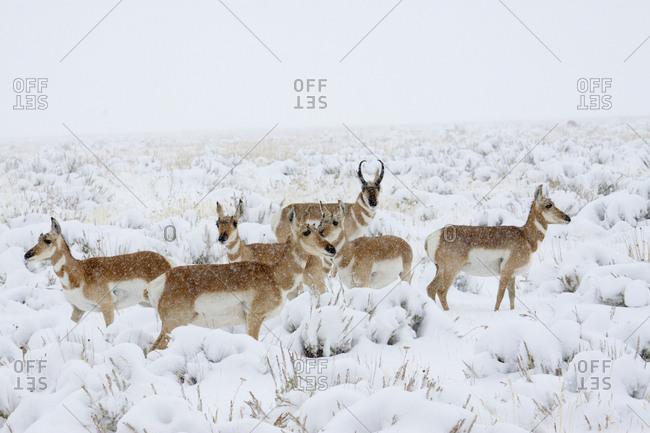 Pronghorn antelope herd, winter storm, Sage Brush Country