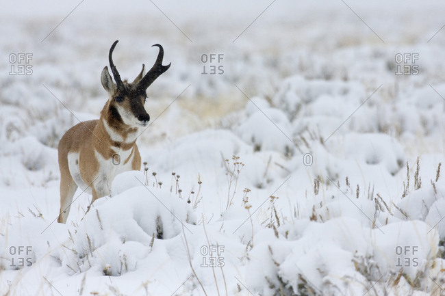 Pronghorn antelope buck, winter storm