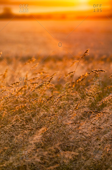 Great Britain- Scotland- East Lothian- wild grasses backlit by the sun at sunset
