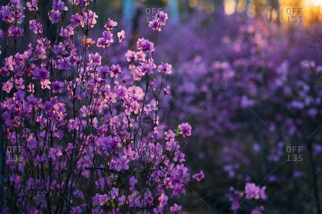Pink wildflowers at evening twilight