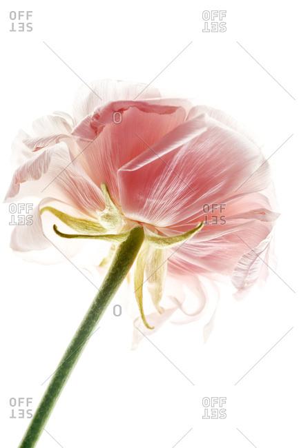 Ranunkulus flower on white seamless background