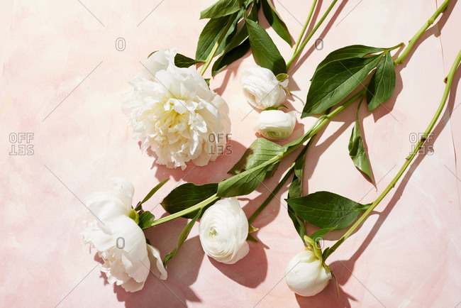 White peonies with stems on pink background