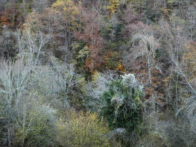 View of aged trees growing on coniferous woods border, Cantabria, Spain