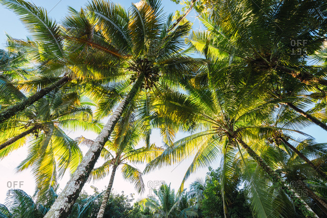 From below shot of green palm trees against blue sky in sunlight, Panama