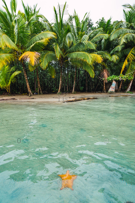 Landscape of bright starfish in clear water of tropical coastline with bright green palms on beach, Panama