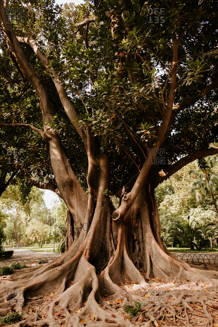 Magnificent aged tree growing in beautiful park on sunny day in Seville, Spain