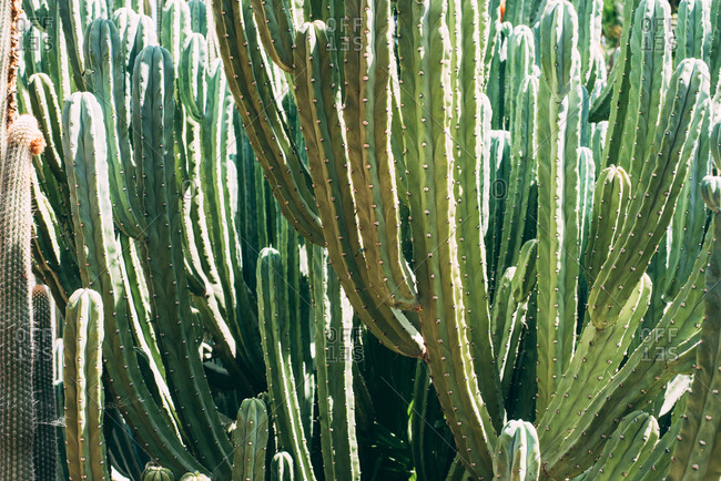 Big cactus plant - Offset Collection