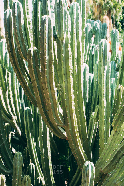 Big cactus plant