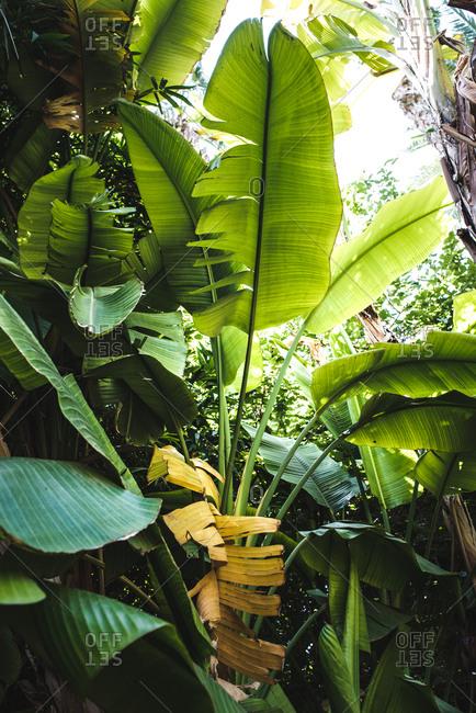 Banana tree plant cultivation