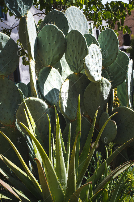 Cactus plant in a garden