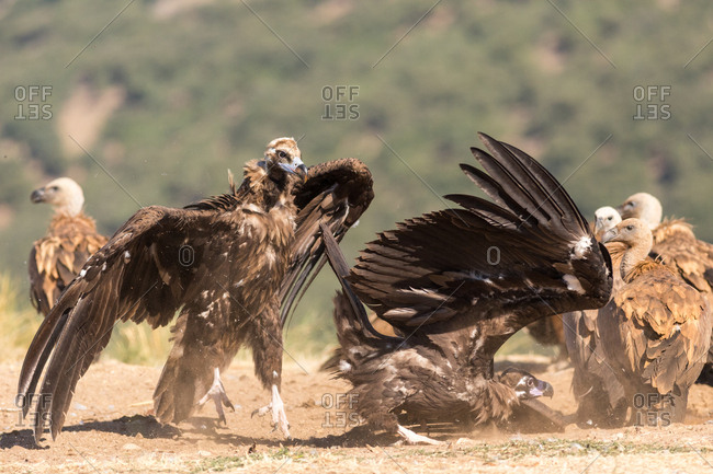 Two huge vultures landing on ground after flight on sunny day in nature