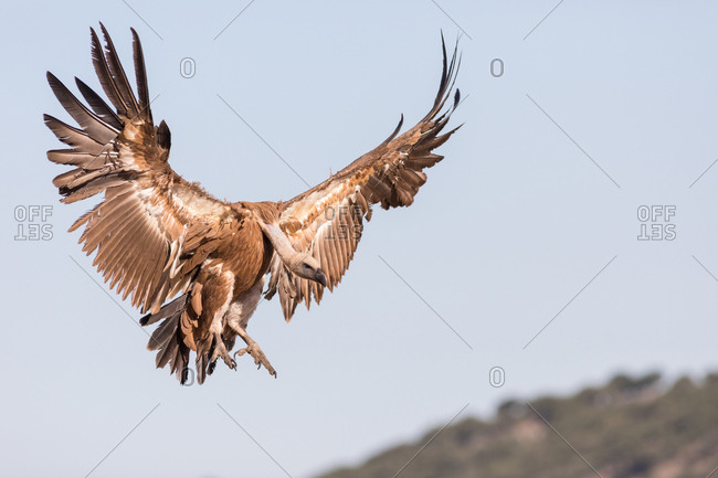 Amazing wild vulture soaring against cloudless blue sky on sunny day in nature