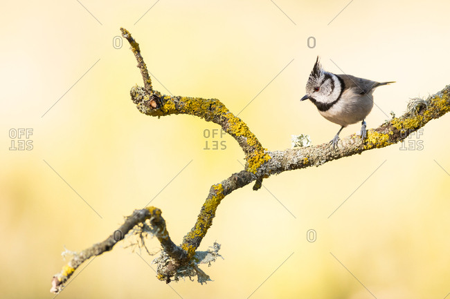 Tiny bridled titmouse sitting on thin mossy tree branch on blurred yellow background of nature