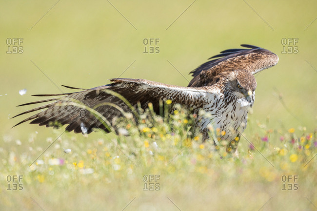 Amazing wild hawk spreading wings while standing in green grass on sunny day in field