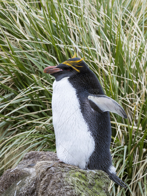 Macaroni Penguin (Eudyptes chrysolophus) standing in colony in typical dense Tussock Grass.