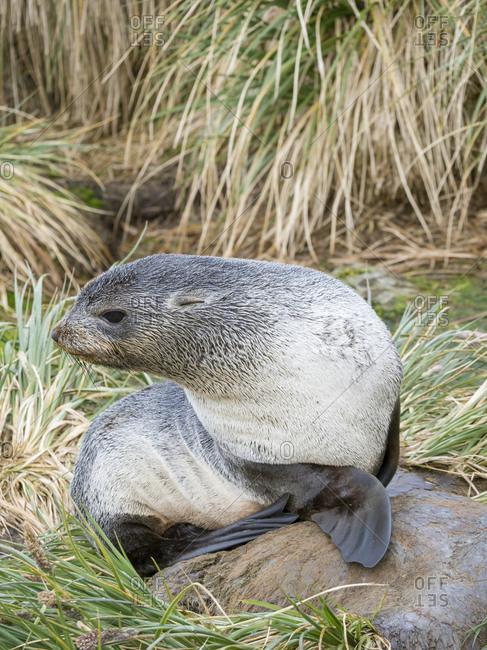 Antarctic Fur Seal (Arctocephalus gazella) in typical Tussock Grass.