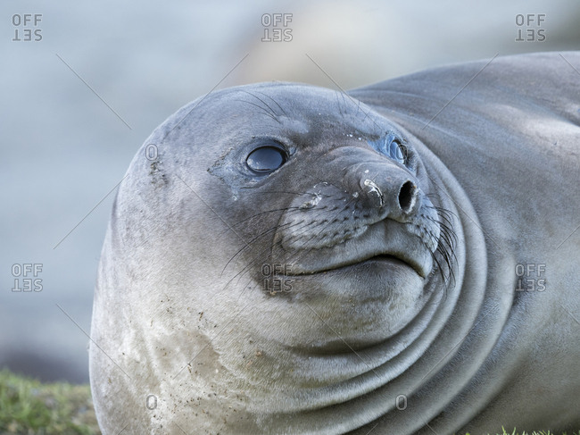 Southern elephant seal (Mirounga leonina) weaned pup on beach.