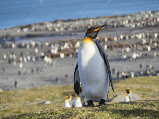 King Penguin (Aptenodytes patagonicus) on the island of South Georgia, rookery in St. Andrews Bay. Courtship behavior.