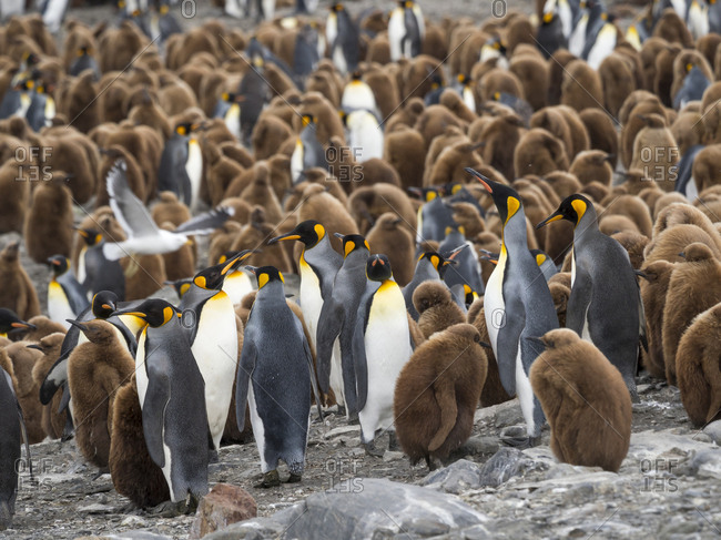 King Penguin (Aptenodytes patagonicus) on the island of South Georgia, rookery in St. Andrews Bay.