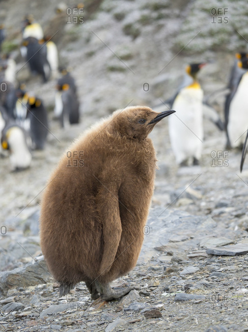 King Penguin (Aptenodytes patagonicus) on the island of South Georgia, rookery in St. Andrews Bay. Chick in typical brown plumage